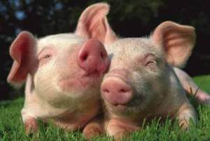 Valentines pigs together!